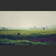 Campi di colza vicino Alessandria