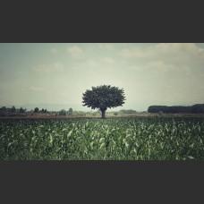 Salice e campo di granoturco